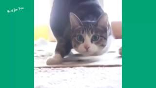 funny cat 2017 |  Funny Cats Vine Compilation September 2015