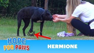 Hermione stepped on a cruel coyote trap and suffered for days until a miracle happened!