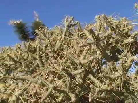 © Кактусы в пустыне Аризоны