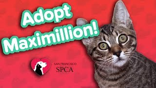 Adopt Maximillion! // Tabby // Adoptable Featurette