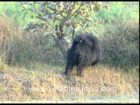 Xxx Mp4 Bhago Bhalu Aaya A Sloth Bear In The Wild 3gp Sex
