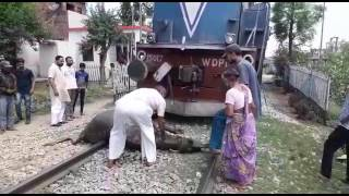 Buffalo hit by a train and survived