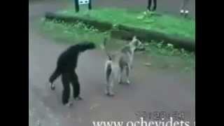Feline monkey VS dog