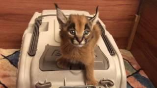 Wildcat Scream