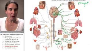 Autonomic Nervous System 7- Review VM Anatomy
