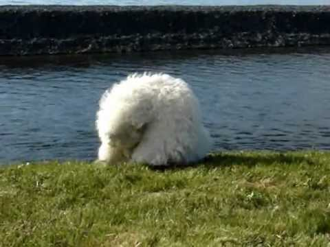 Dog chases tail and falls in the water