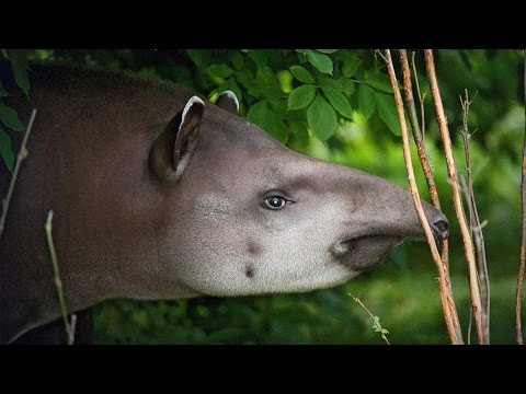 The coolest animal you know nothing about ... and how we can save it | Patrícia Medici