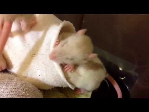 3 week old baby rats play wrestling