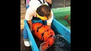 Inilah Jenis Ikan Koi Populer dan Banyak Dicari