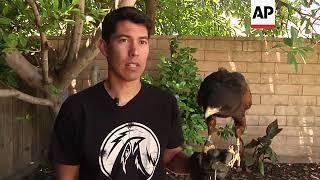 Trained Hawks Scare Away Pest Birds in LA