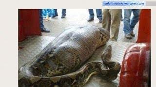 Python Snake Eats Drunk Man In India