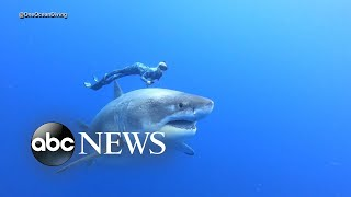 Divers swim alongside famous Deep Blue shark