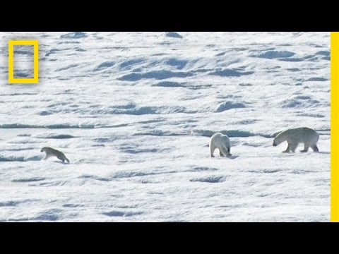 EXCLUSIVE Male Polar Bear Chases and Eats Cub National Geographic