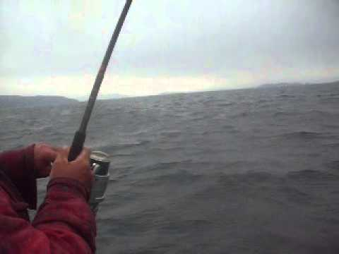 cod fishing newfoundland: GIANT CODFISH
