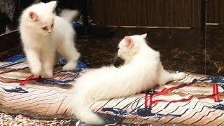 Cute Kittens 😍 Cute and Funny Kittens Playing [Funny Pets]