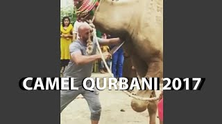 Strong camel qurbani in farm 2017 in pakistan karach | eid ul adha 2017 | eid