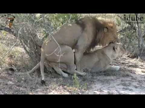 Xxx Mp4 WILDlife Lions Mating In The Shade 3gp Sex