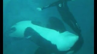 Kasatka the Orca Attacks Trainer Kenneth Peters (2006)