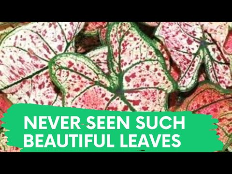 SHORT DOCUMENTARY FILM ON ELEPHANT EAR  LEAVES | COLOCASIA | CALADIUM | TARO ROOT | NATURE