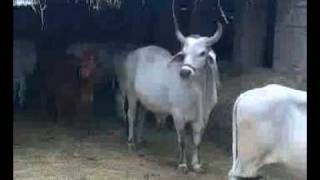 sindhi cows at bashir halepoto farm (falkara,matli).3gp