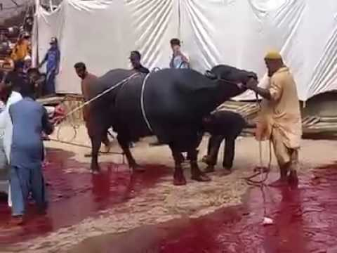 Dadi House Gulshan 2016 Qurbani Buffalo Qurbani