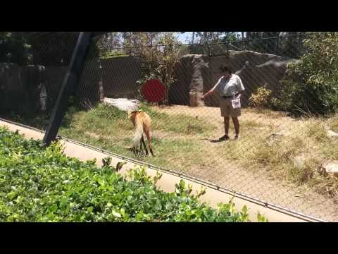 Maned Wolf rewarded with mice