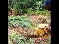 Download Video LONGEST SNAKE IN KENYA  -  Bura ,Taita Taveta 3GP MP4 FLV