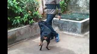rottweiler attacking his owner in trivandrum {nagaroor}