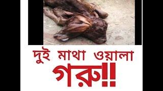 দেখুন, মহান আল্লাহ তায়ালার অলৌকিক ক্ষমতা। এক গরুর দুই মাথা!! | the cow with two heads!!