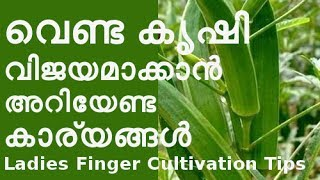വെണ്ട കൃഷി രീതിയും  ജൈവ കീടനിയന്ത്രണ മാര്ഗങ്ങളും  Ladies Finger Cultivation Tips