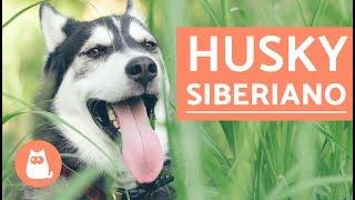 El perro Husky Siberiano