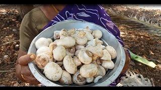 Cooking Fresh Button Mushroom Biryani in My Village - Tasting With Curd Salad
