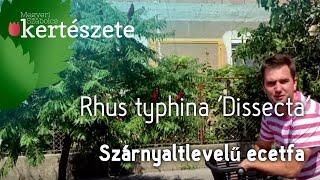 Rhus typhina 'Dissecta' - Szárnyaltlevelű Ecetfa