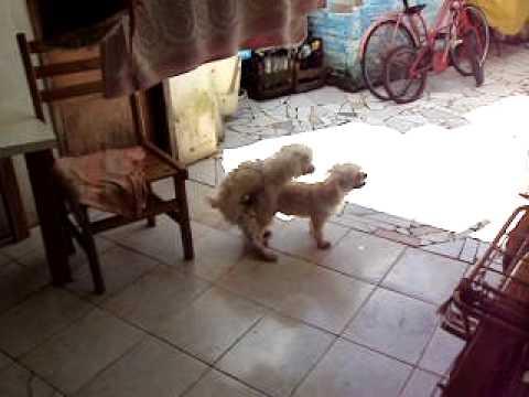 os cachorros cruzando