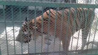 Tiger, Royel Bengol TIger, dhaka zoo,mirpir 1 number.