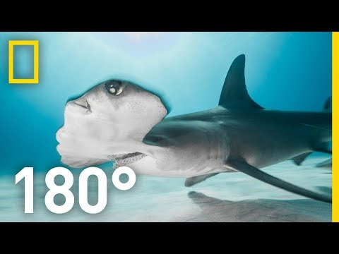 Shark Encounter in 180 Worth More Alive National Geographic