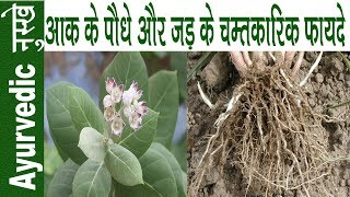 हर बीमारी का काल है आक का पौधा   Health Benefits Of Calotropis Gigantea   Aak Ke Fayde