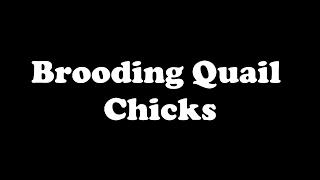 Raising Bobwhite Quail,Coturnix and Tibetan Quail,Raising Quail, How to hatch Quail, Hatching eggs