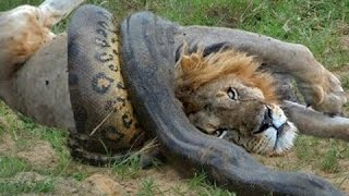 Python vs Lion - Anaconda vs Cat - Giant Anaconda vs Felidae (Attack Crazy)