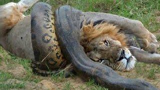 Python vs Lion - Anaconda vs Cat - Giant Anaconda vs Felidae (Attack Crazy)