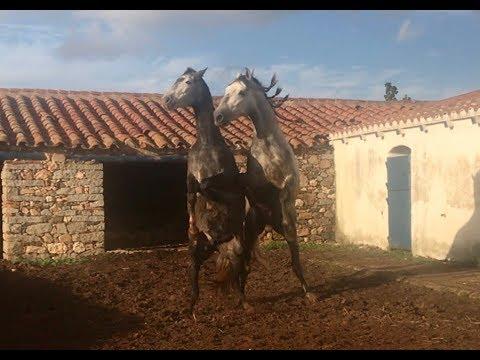 Caballo y Yegua juego PREVIO CUBRICION cruce cruzamiento maquila previous horse mating