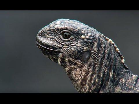 Iguana vs Snakes Planet Earth II