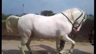 amaging dance of horse