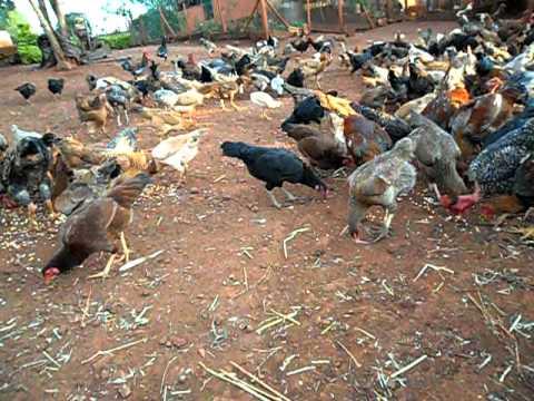 Criação galinha caipira