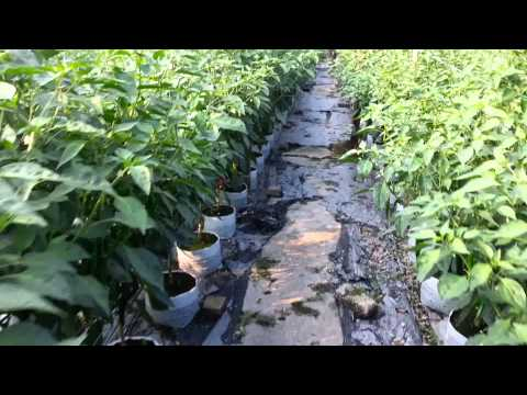 Chili Farm Business & Technique for Sale in Nibong Tebal