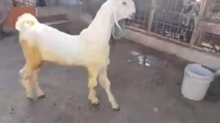 nachi goat white & black part 2