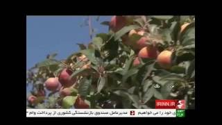 Iran Sheykh-Shaban village, Apple picking برداشت سيب روستاي شيخ شبان ايران