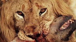Lion Vs Hyena, Cheetah Vs Hyena , Leopard vs Hyena Real Fight compilation   Animal Attack