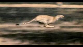 Cheetahs speed