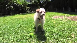 Never Seen Before Dog Juggling Ball Trick
